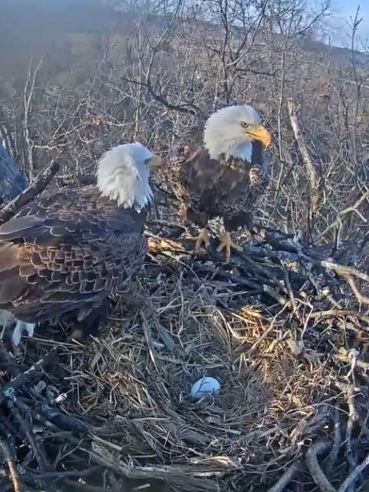 Hanover-area eagles with newly-laid egg
