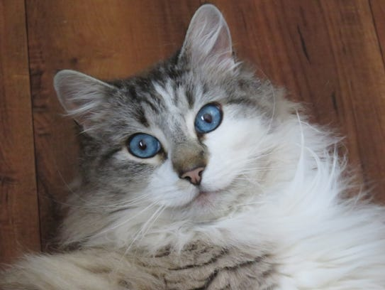 City Kitty is a male, domestic longhaired cat who weighs