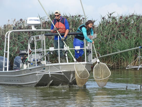 To catch grass carp, research teams use electric shock