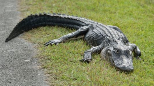 This is not the alligator that gave a Louisiana man a gash requiring 80 stitches, but you probably wouldn't want to mess with it, either.