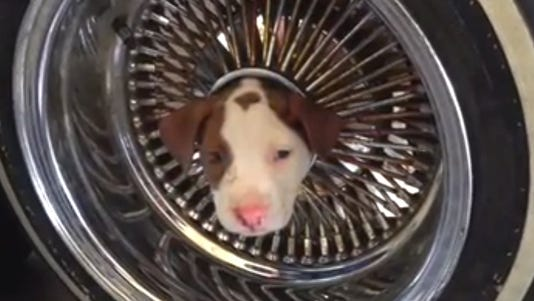 A photo taken from video shows a puppy stuck in the rim of a car.