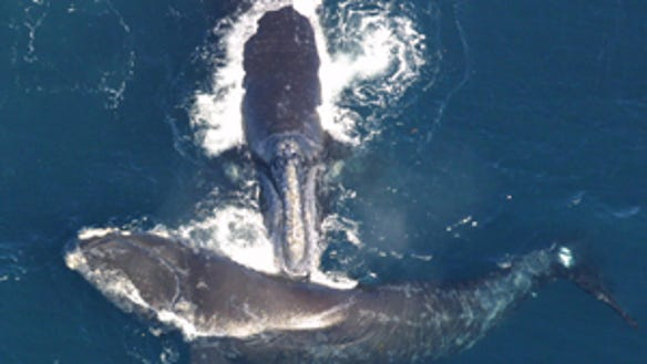 North Atlantic right whales (Source: NOAA Fisheries)