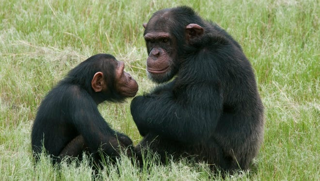 Chimpanzees sit in an enclosure at the Chimpanzee Eden rehabilitation center, near Nelspruit, South Africa, in 2011.