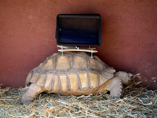 A tortoise with an iPad mounted on its back rests on display in early August at the Aspen (Colo.) Art Museum.
