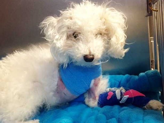 Charlie Brown, a toy poodle, lost his leg because of
