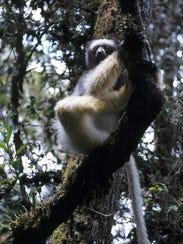 Madagascar, Mahatsinjo district. Sadabe lemur.