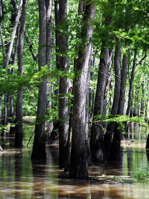 The Hatchie River in West Tennessee is the longest free-flowing tributary of the lower Mississippi, and contains the largest forested floodplain in Tennessee.