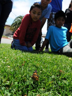 Students from the Cesar Chavez Library Summer Program in Salinas watch a new butterfly slowly explore the grass.