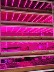 Hydroponic greens at Greener Roots Farm grow under red and blue lights stacked five layers tall.