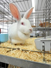 Karter Faust, 12, of Denver, entered a rabbit into competition at the Iowa State Fair in 2014.
