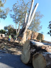 City workers bringing down a giant eucalyptus trunk on Wednesday in front of Sherwood Hall in Salinas.