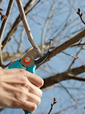 Most fruit trees are pruned during their dormant phase in winter when the leaves are off the tree and its structure is visible. Not so with apricot and cherry trees.