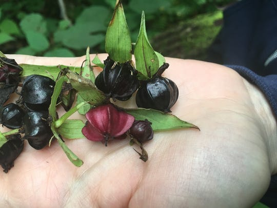 Seed capsules of Trillium were collected on an expedition to North Carolina last month.