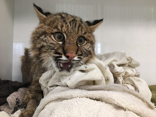 A bobcat recovered at Woodlands Wildlife Refuge following extensive surgery to repair his fractured leg. Woodlands Wildlife Refuge, a wildlife rehabilitation facility, received the badly injured bobcat from the New Jersey Division of Fish and Wildlife's Endangered and Non-Game Species Program's bobcat biologist Gretchen Fowles. The then-6-month-old male bobcat had been struck by a car.