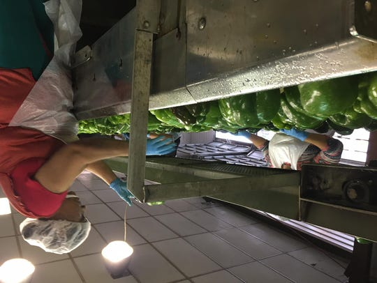 A worker sorts peppers on a conveyor belt, removing