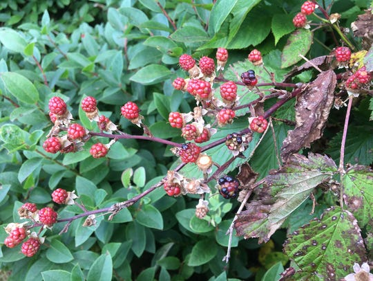 Wild black raspberries are ripening at high elevations