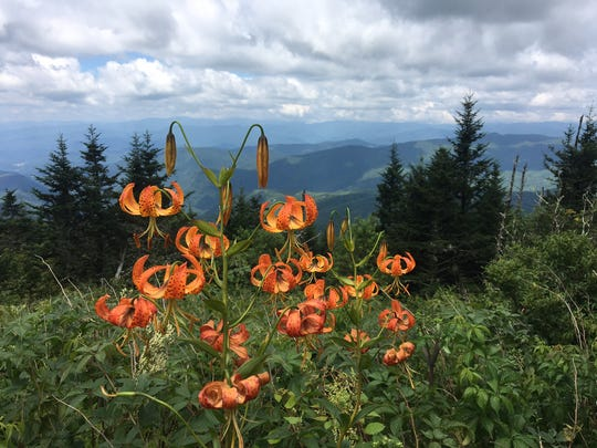 Turk's cap lily brightens a sweeping views from on