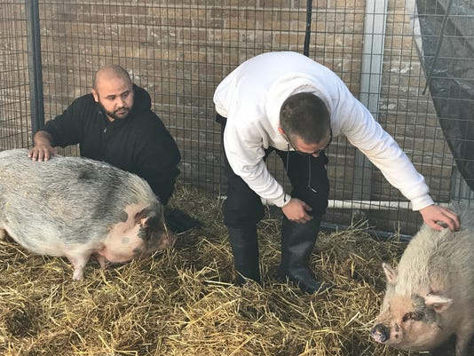 636494651885002686-Pigs.JPG