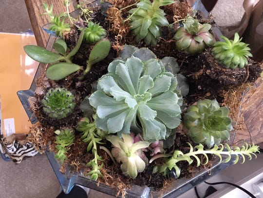 Succulents, once indoors, are generally easy to keep