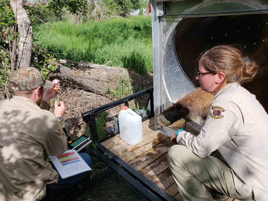 Wesley Sarmento, a Montana Fish, Wildlife and Parks bear management specialist, and Sarah Zielke, an FWP bear management technician, prepare drugs used to sedate a grizzly bear in Conrad.