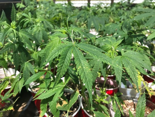 Hemp plant clones sit ready for planting at Franny's