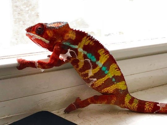 "Picasso the chameleon in his bright red ""pajamas."""