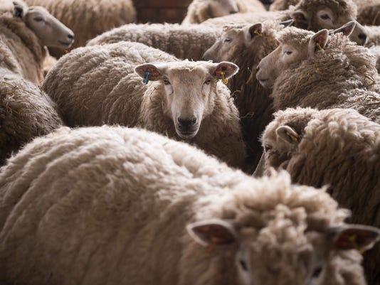 sheep_052616