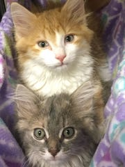 Athena and Percy are adorable, 9-week-old, long-haired