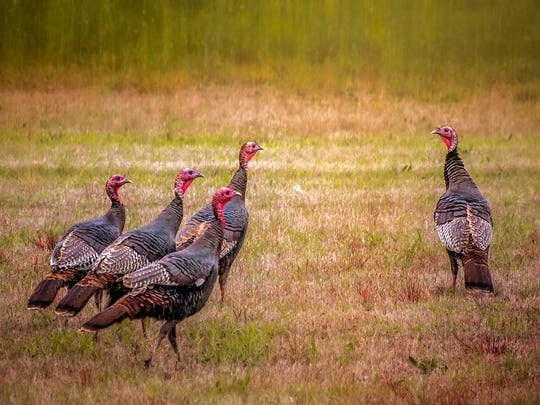 The Pennsylvania Game Commission is asking the public for help in surveying wild turkey during August.