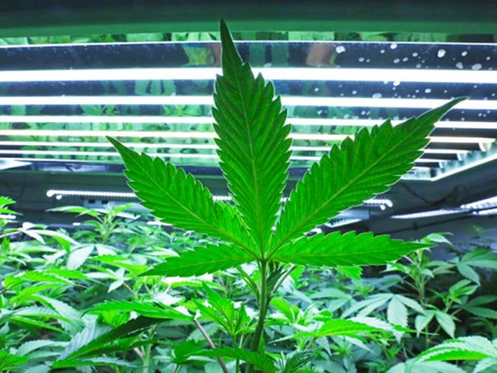 This June 5, 2017, file photo shows a marijuana leaf