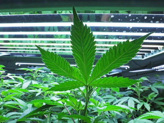 Rows of marijuana plants grow at a cultivation facility