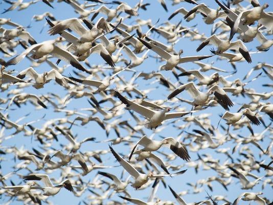 News: Snow Geese