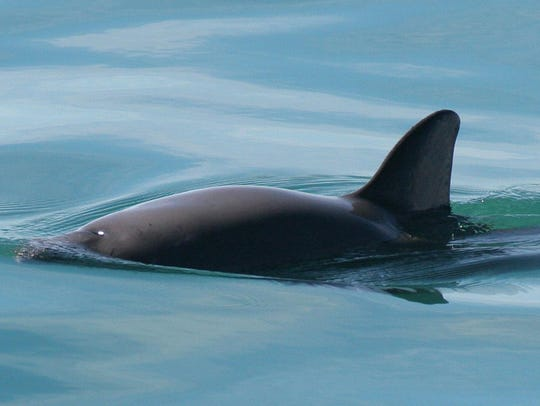 The vaquita is a critically endangered porpoise species