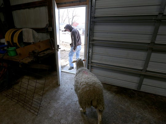 Jordan Knox tends a pregnant ewe that is part of an