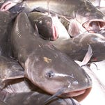 Tthe U. S. Department of Agriculture will now be responsible for the inspection of  imported and domestic catfish.