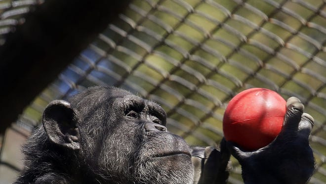 A chimpanzee holds an enrichment treat at the Oakland Zoo in Oakland, Calif., on April 14.