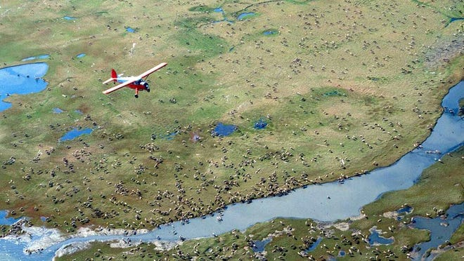 In this undated photo, an airplane flies over caribou on the coastal plain of the Arctic National Wildlife Refuge in northeast Alaska.