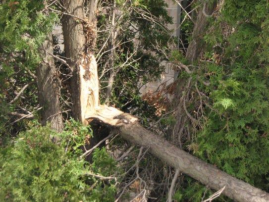 Torn bark needs careful examination before pruning.