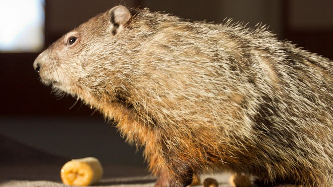 """Murray, named after """"Ground Hog Day"""" movie star Bill Murray, gets familiar with the spotlight in the sunlight of the Howell Conference and Nature Center. The young groundhog may fill in for Woody, who is convalescing with a respiratory illness."""