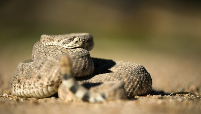 A western diamondback rattlesnake. On average, the New Mexico Poison Center records about 60 rattlesnake treatments a year.