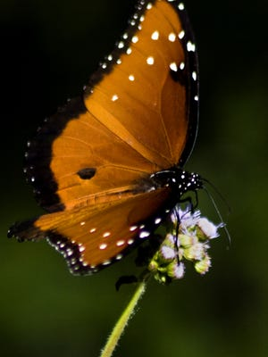A monarch butterfly takes to a flower at the butterfly garden in Rotary Park in Cape Coral.