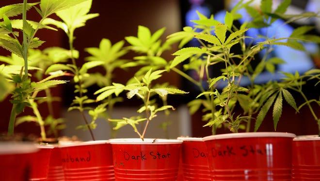 Marijuana plants sit on display last year at the Puff-n-Stuff dispensary in Lansing.