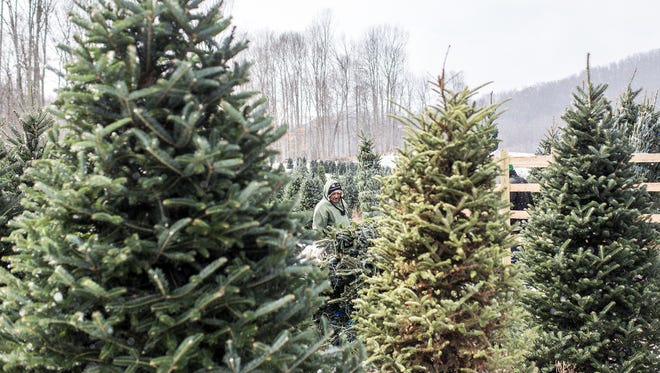 Zacharias Hernandez works with others on the crew to load cut Christmas trees on a trailer at Rodney Buchanan's tree operation in Bakersville, Tuesday, Nov. 18, 2014. Buchanan grows mostly Fraser fir, as does most every Christmas tree farmer in North Carolina, and sells them wholesale to local retail lots and lots as far north as New York.
