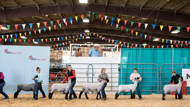 Competitors steady their sheep during 4H Showmanship at the Montana State Fair Thursday.
