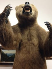 Among the mounted animals at the Ninepipes Museum is this bear.