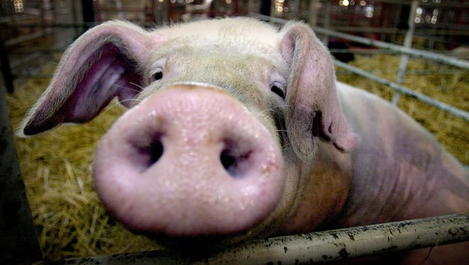 The Hampshire Breeding Swine Show will take place on Sept. 1 at the Oregon State Fair.