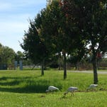 White ibis are just one of the plentiful varieties of birds you will see at Chain of Lakes Park in Titusville.