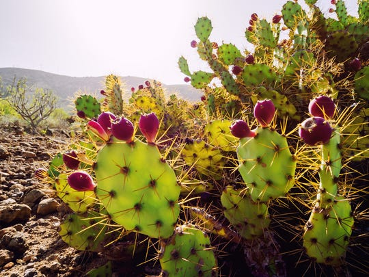 Prickly pears are delicious on the inside but vicious on the outside.