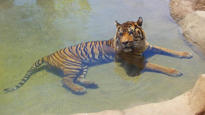Jai, a male Sumatran tiger, cools off as temperatures climb to 106 degrees at the Phoenix Zoo Thursday. Temperatures were expected to hit 117 degrees over the weekend.
