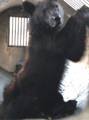 The relocated black bear is 3-years-old and 75 pounds, officials said.